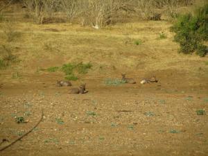IMG 2616 - Tsessebes Kruger NP