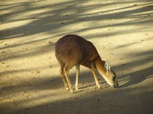 IMG 2627 - Grijsbok Kruger NP