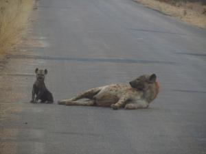 IMG 2657 - Zogende hyena Kruger NP