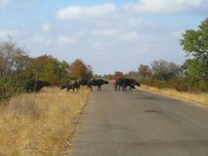 IMG 2661 - Overstekende buffels Kruger NP