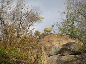 IMG 2668 - Klipspringers Kruger NP