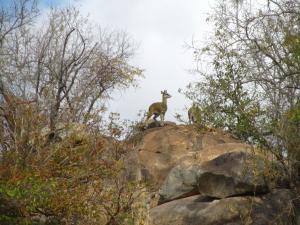 IMG 2675 - Klipspringers Kruger NP