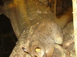 IMG 3149 - Galago voederen Bushbaby lodge
