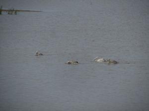 IMG 3486 - Pelikanen bij riviermonding
